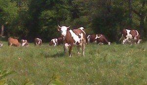 la-vache-300x174